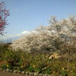 桜と新たな門出